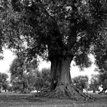 Gli ulivi secolari della Puglia (2)